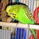 папуги хвилясті фото