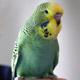 фото хвилястих папуги догляд